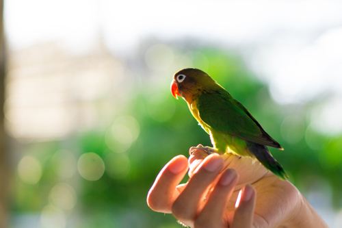 How to hand tame a Lovebird